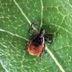 Borelija je nevarna bolezen, ki jo prenašajo žuželke in klopi